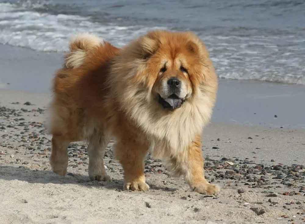 races chiens morsure puissante Chow Chow