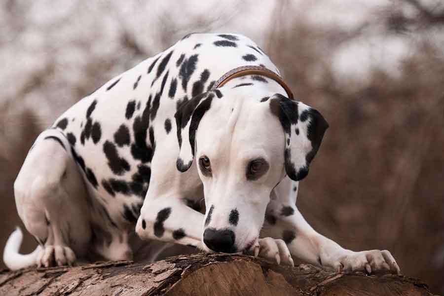 faits étonnants chiens