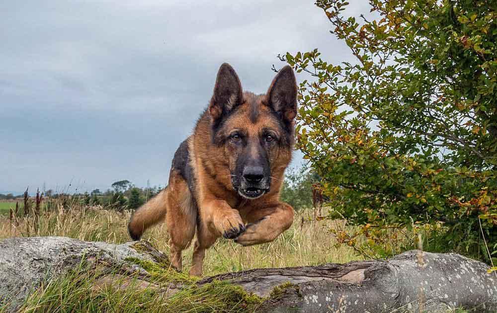 races chiens morsure puissante Berger allemand