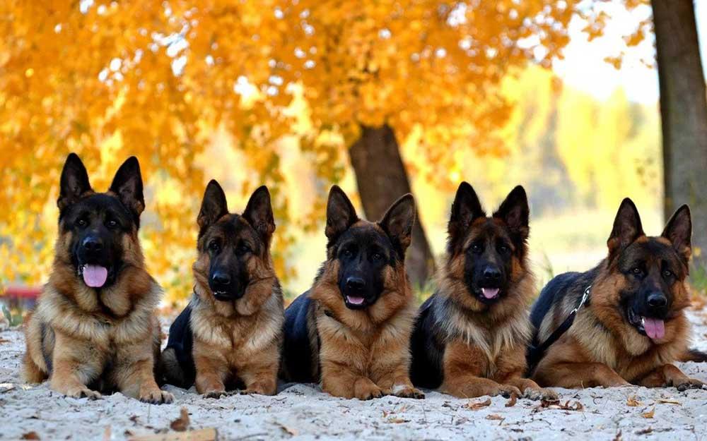 chiens plus intelligents monde Berger allemand