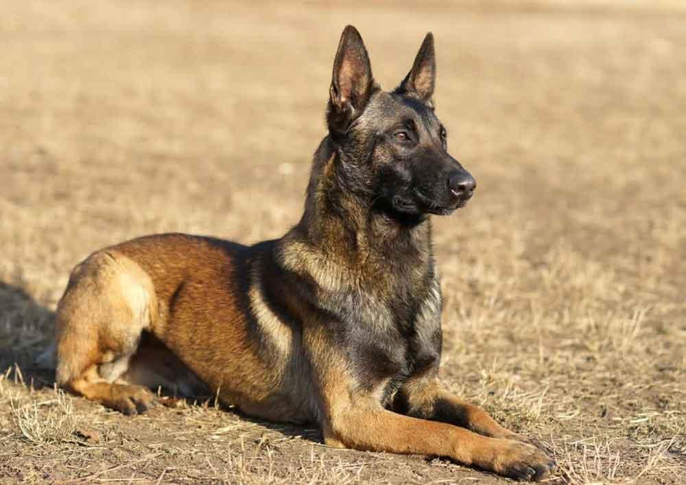 races chiens morsure puissante Malinois