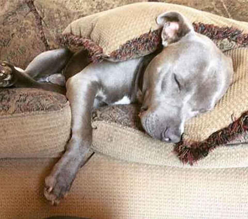 Pitbull invite chatte sans-abri enceinte maison