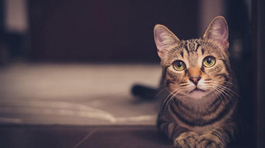 Teigne chats