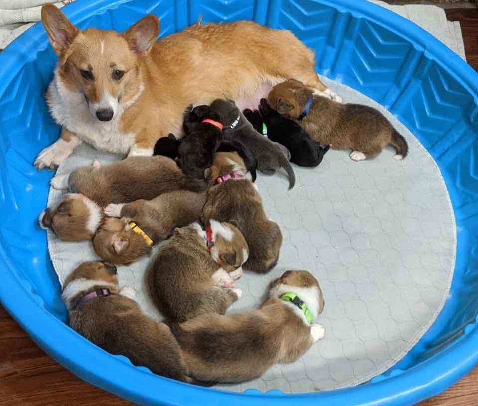 chien Corgi Sara adopte chiots pitbull abandonnés