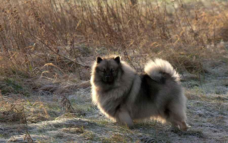 Spitz Loup - keeshond