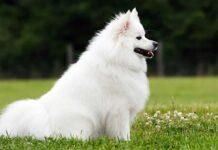 chiens blancs