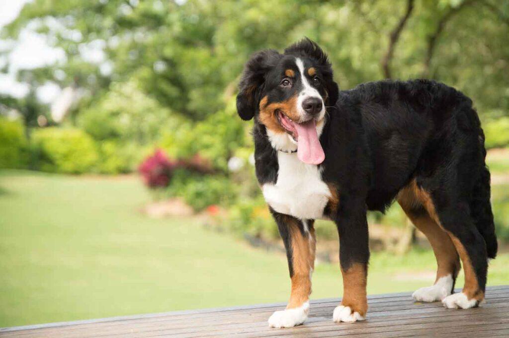 races chiens problèmes santé Bouvier bernois