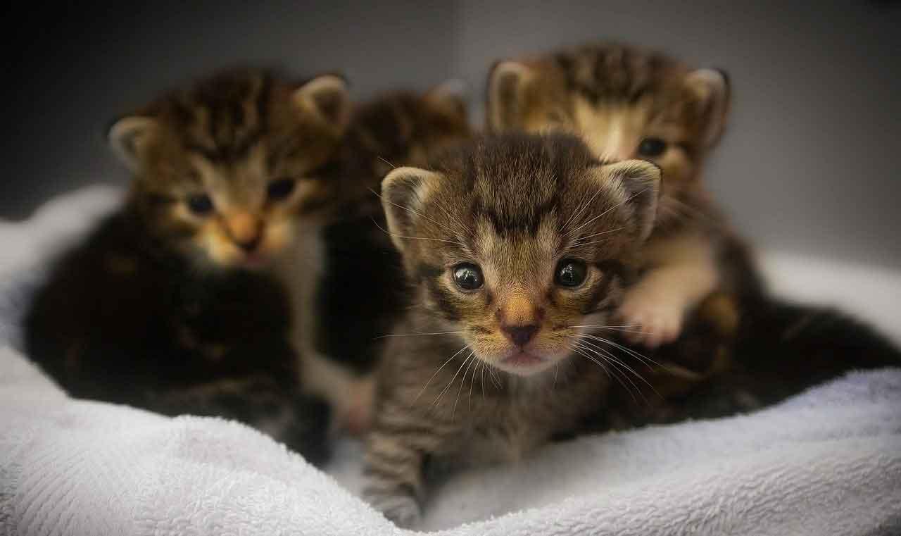 Comment nourrir les chatons de la naissance à 3 mois