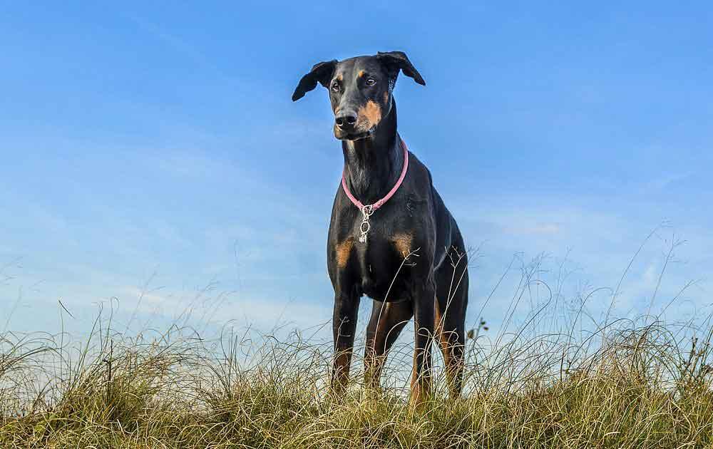 races chiens problèmes santé Dobermann