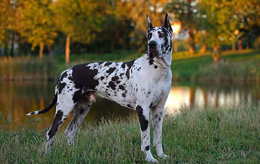 races chiens problèmes santé Dogue Allemand