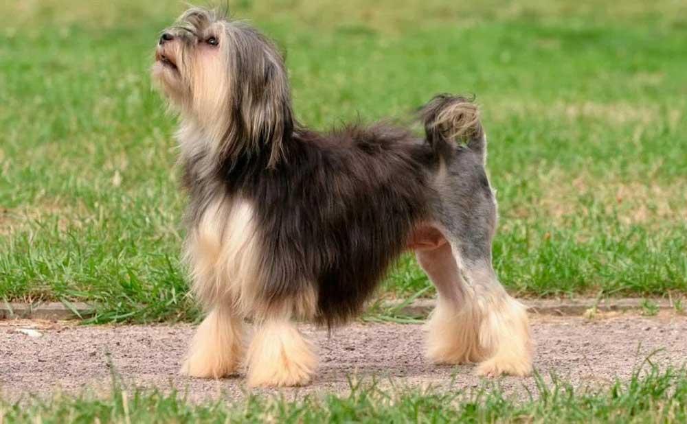Petit chien lion - Lowchen