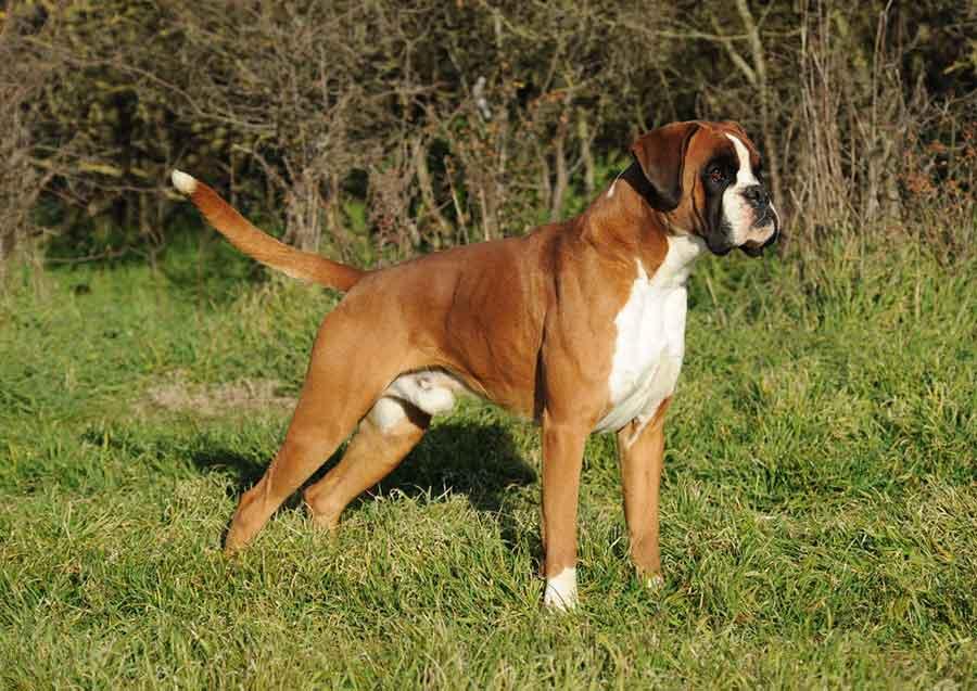 races chiens problèmes santé Boxer