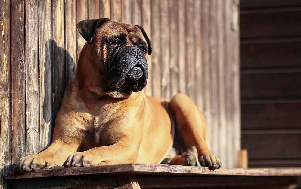 races chiens problèmes santé Bullmastiff