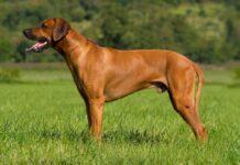 chien de Rhodésie à crête dorsale
