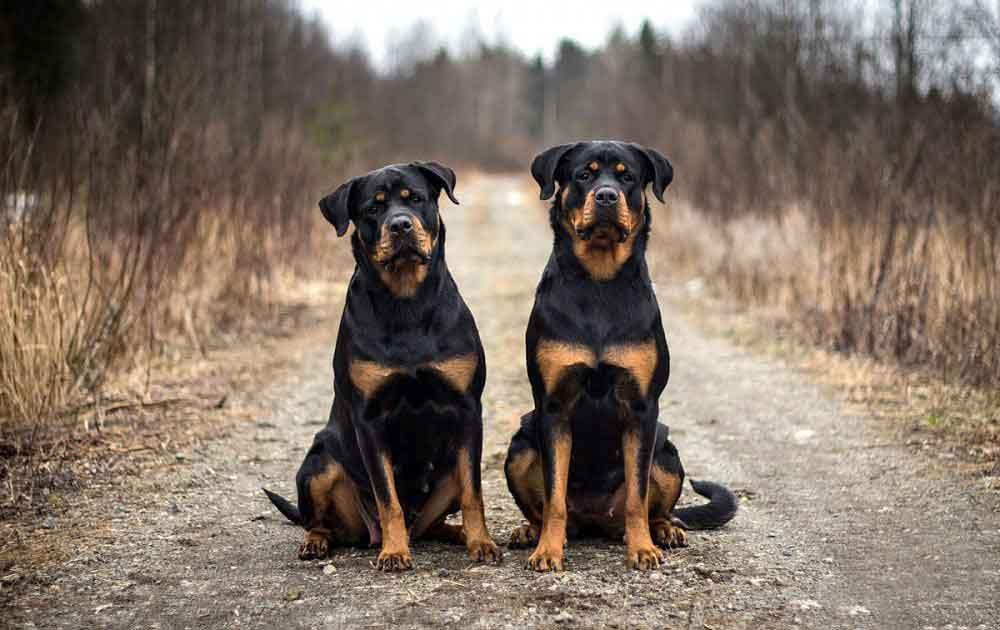 races chiens problèmes santé Rottweiler