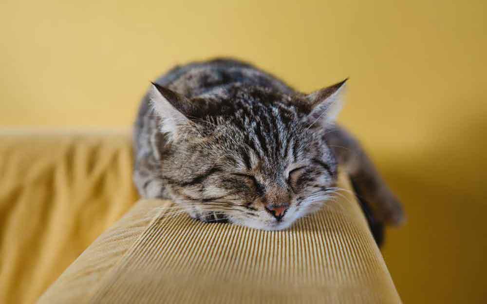 fièvre chats