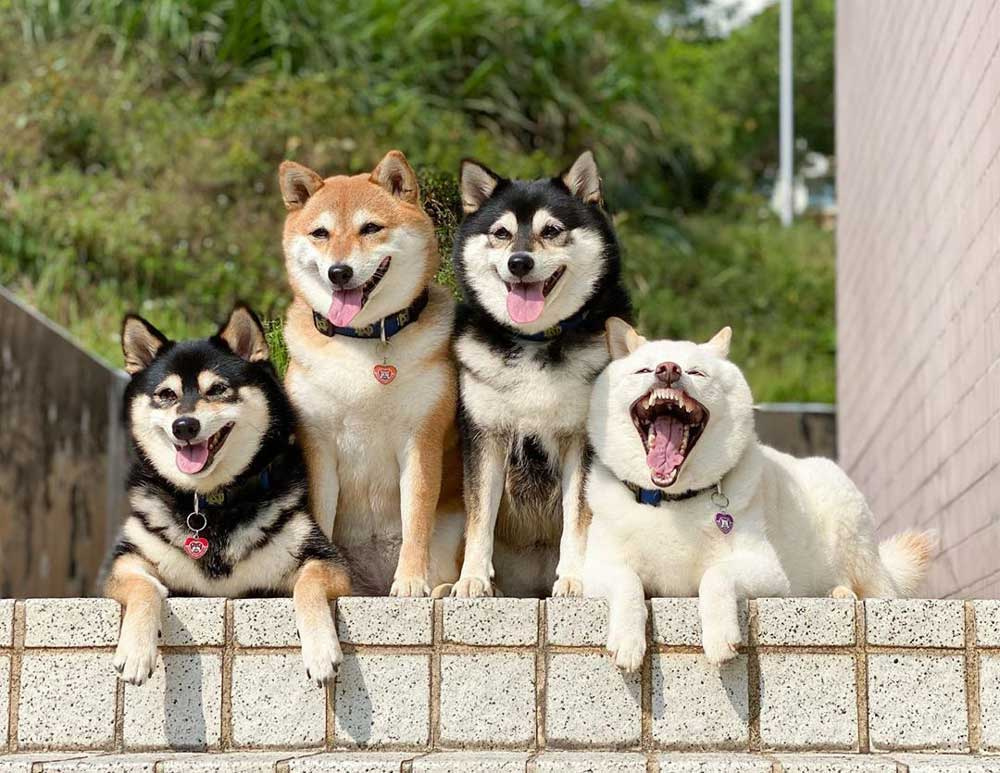 Adorable shiba inu ruinant photos groupe