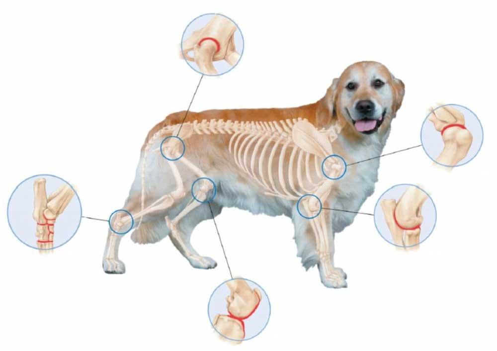 arthrite chiens
