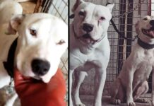 Blanca Blanco chiens sauvés combats