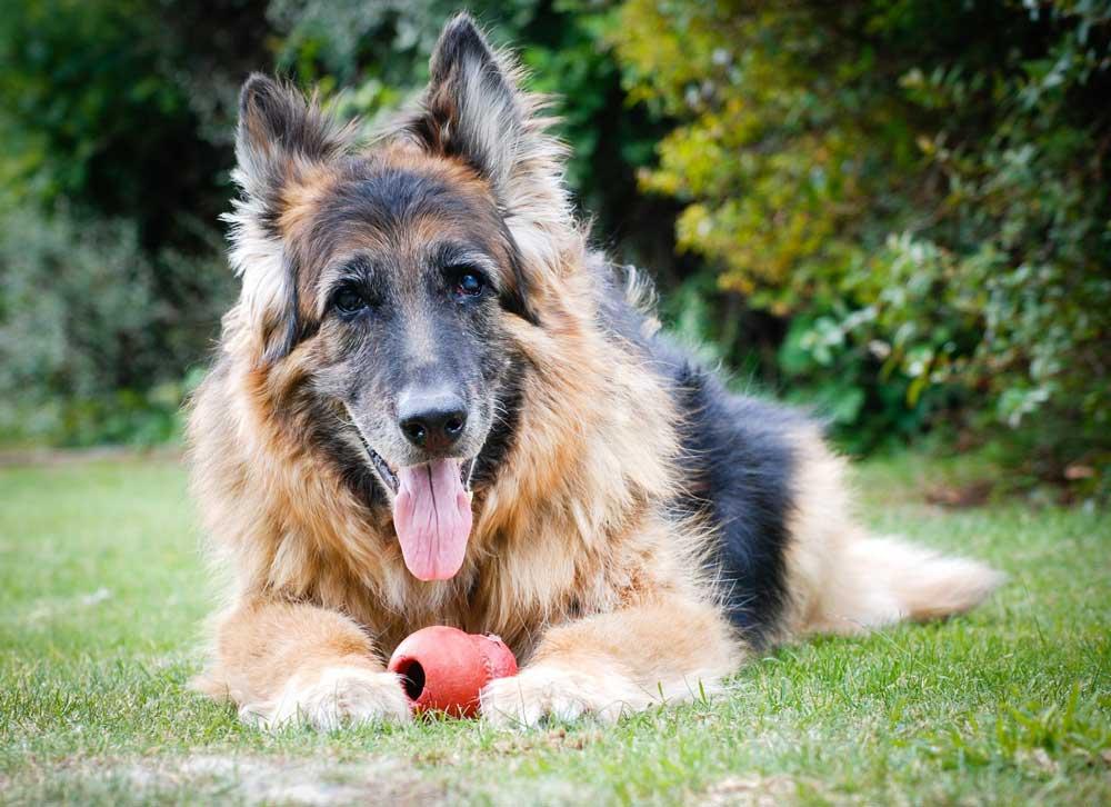 Prendre soin chiens âgés