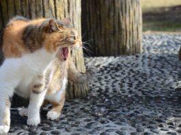 Bagarre de chats
