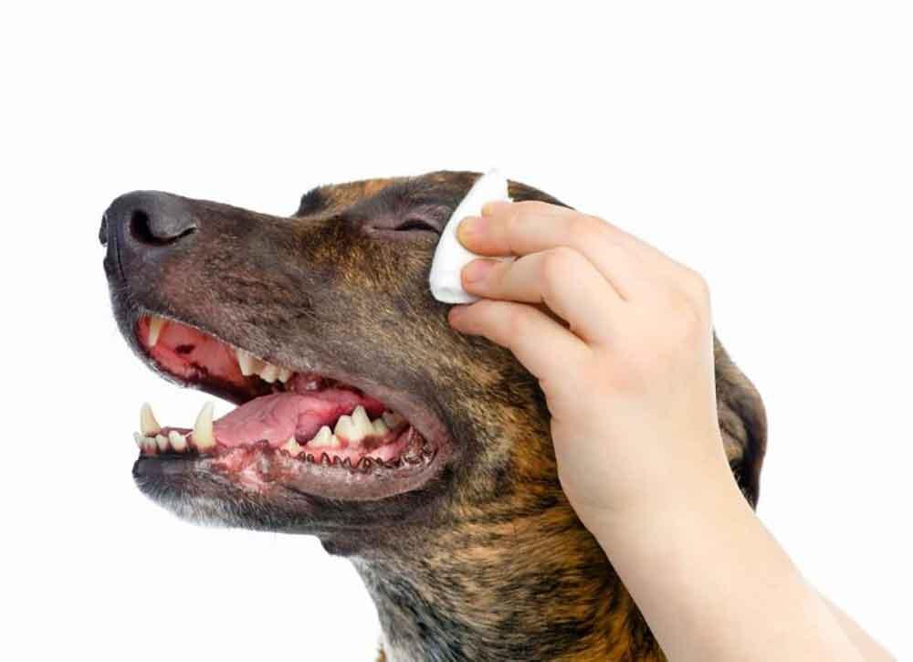 Cataractes chien