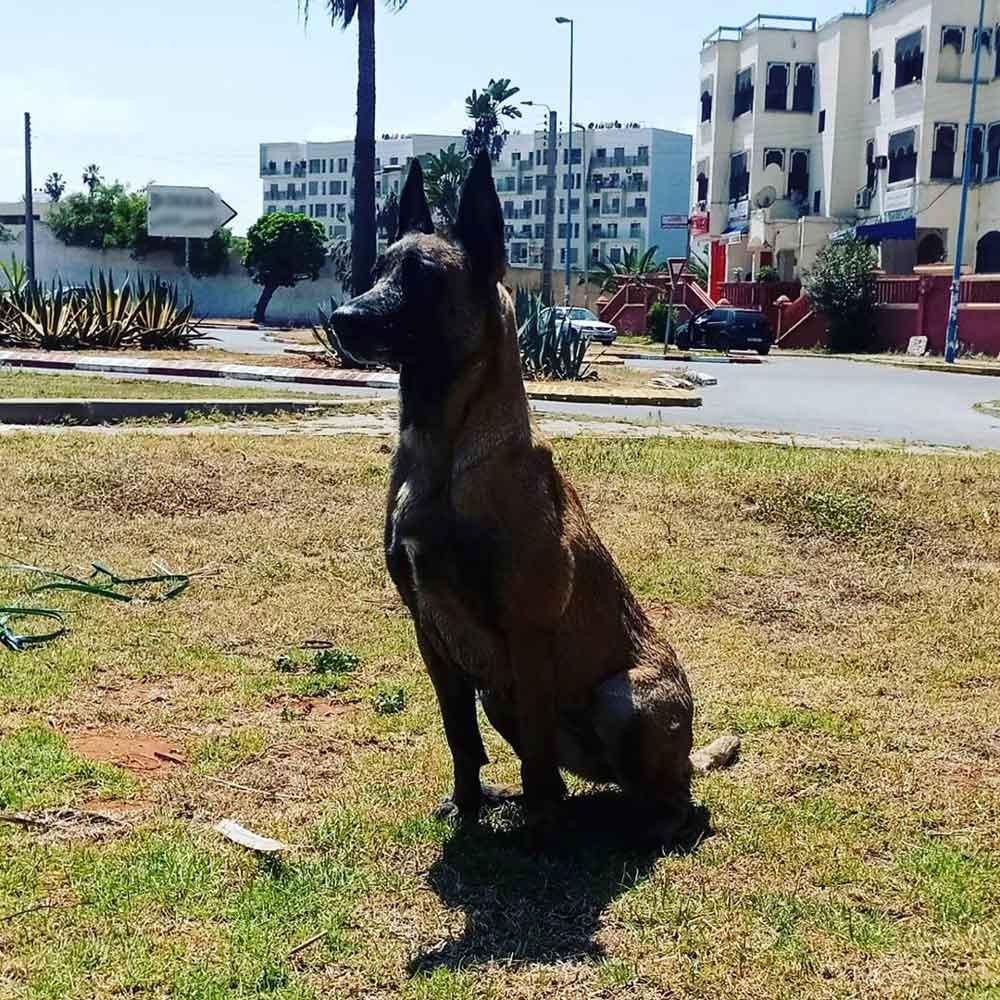 Chica chien malinois