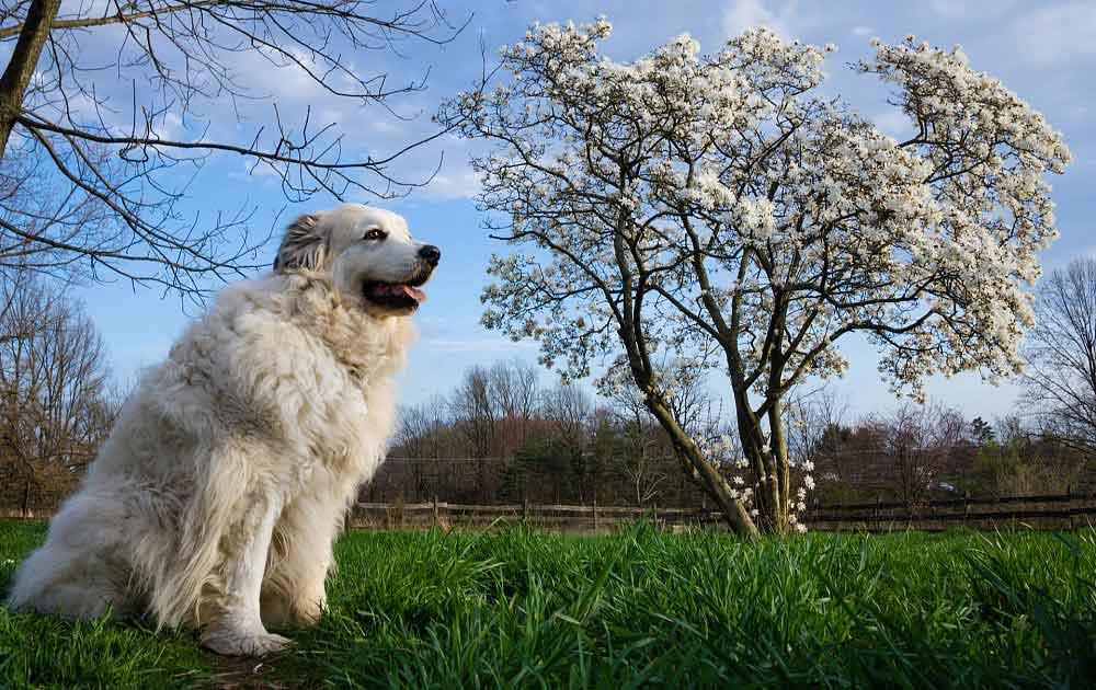 chien de montagne des Pyrénées