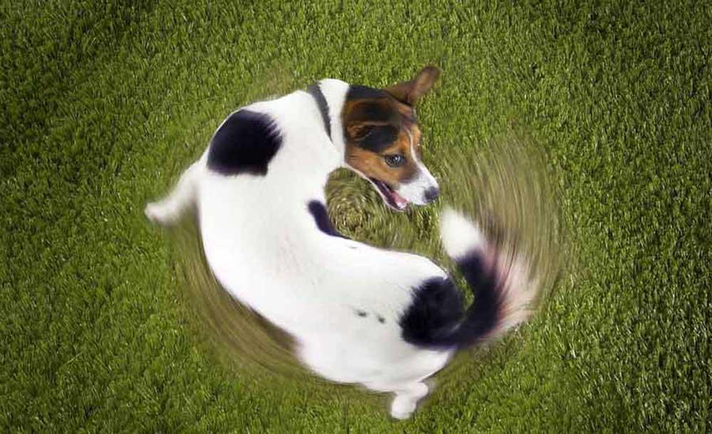 Dressage de chiens maison