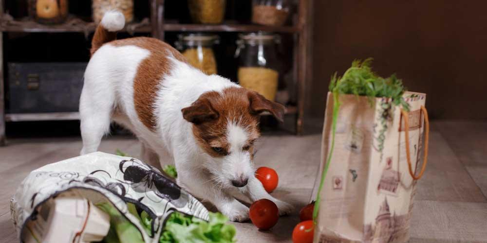 chiens tomates