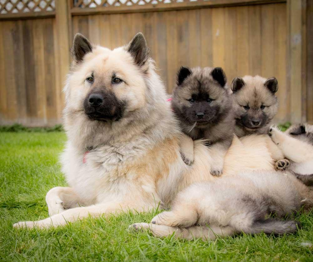 chien Eurasier