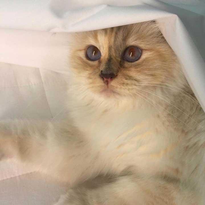 chats mignons célébrités Karl Lagerfeld