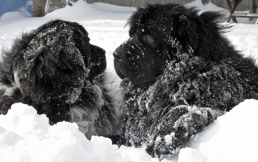 chien Terre Neuve Newfoundland
