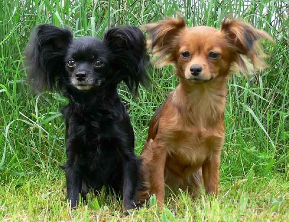 petit chien toy terrier russe