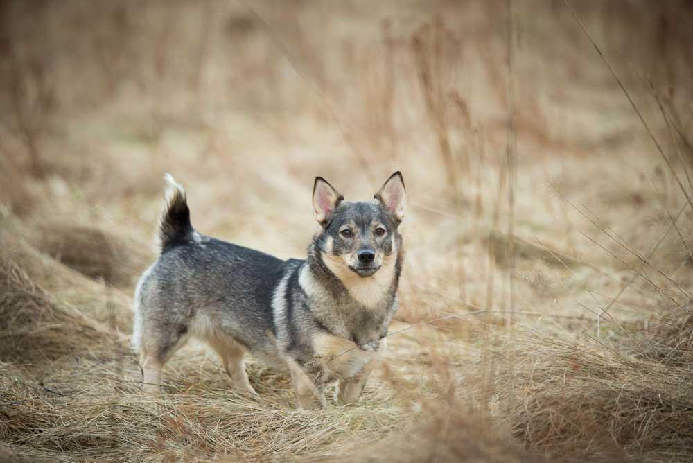 Vallhund suédois