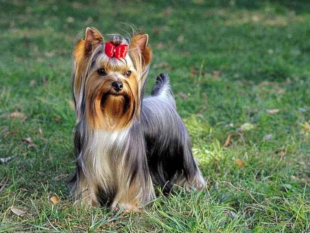 races chiens tasse de thé Yorkshire Terrier