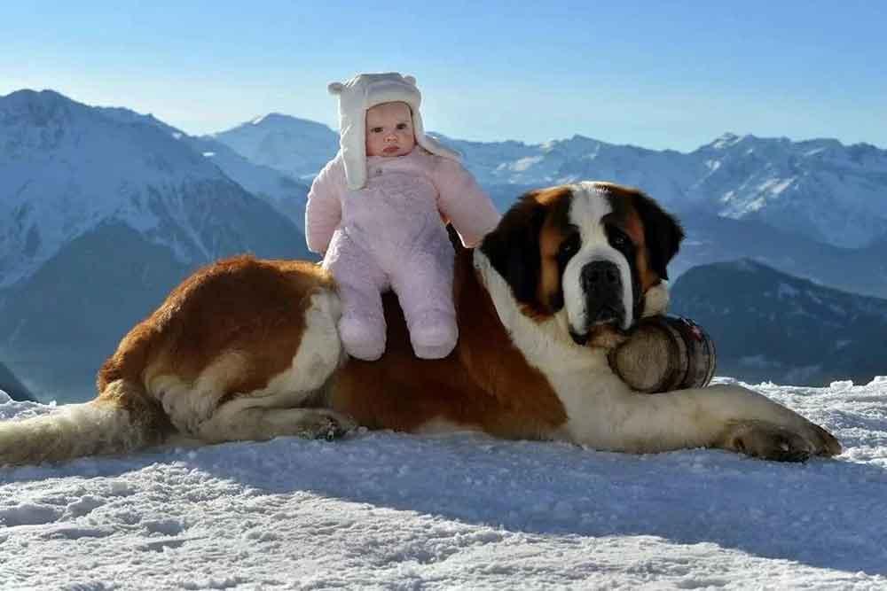 chien Saint-Bernard