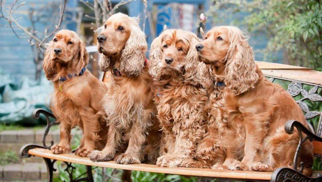 races chiens poils bouclés