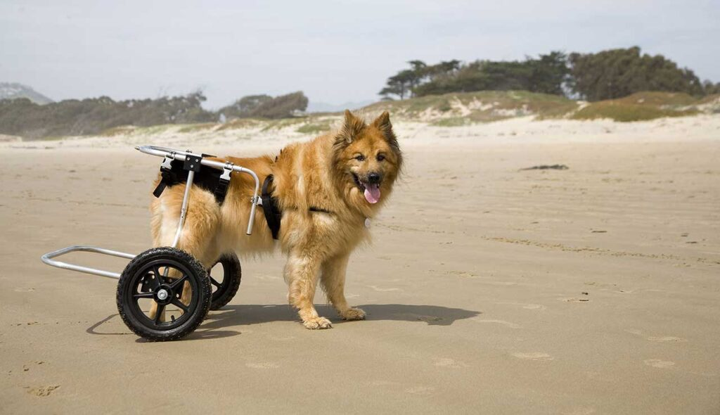 Dysplasie de la hanche chez les chiens