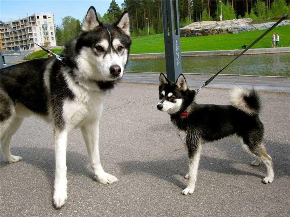 races chiens ressemblent husky