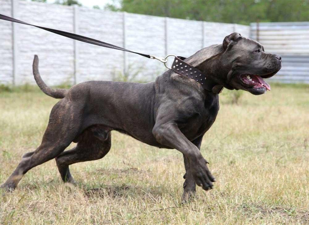chien Bandog