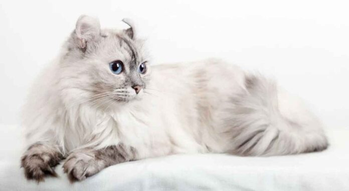 Chat American curl