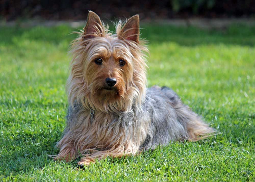 Terrier australien à poil soyeux