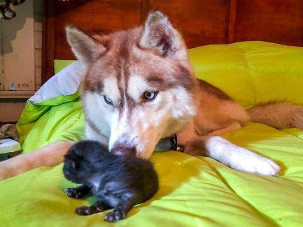 Banner husky sauve chatons abandonnés