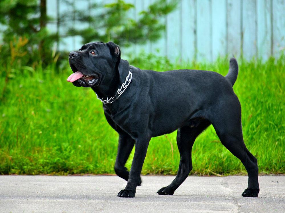 races grands chiens géants
