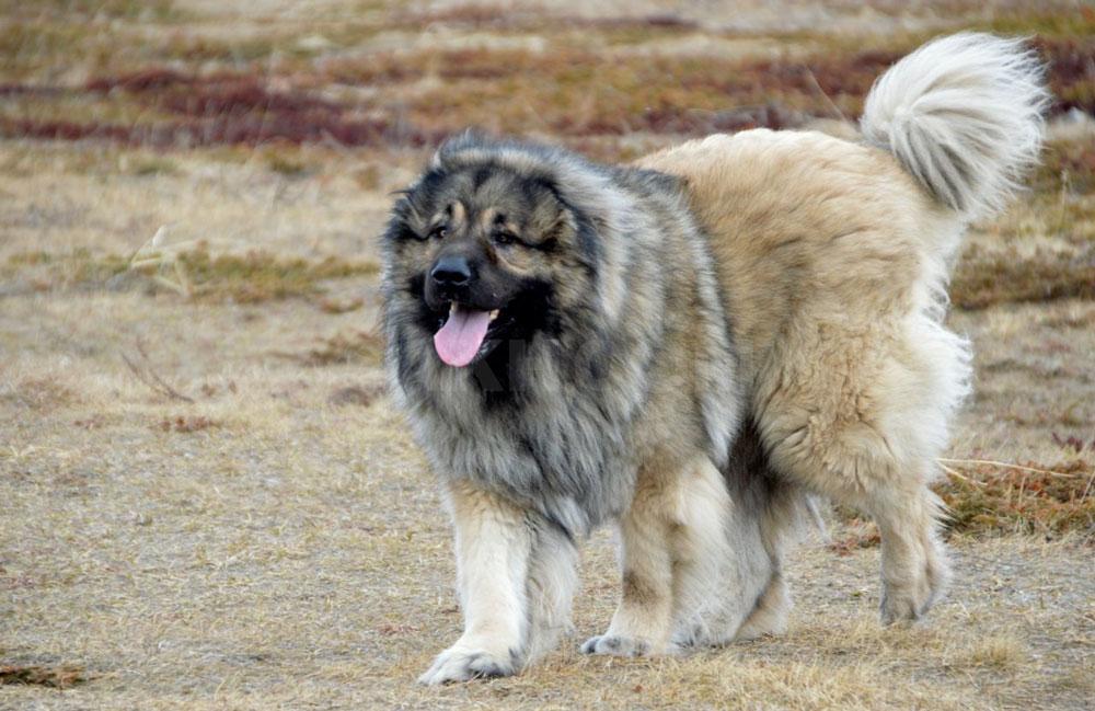 grandes races chiens grands chiens géants
