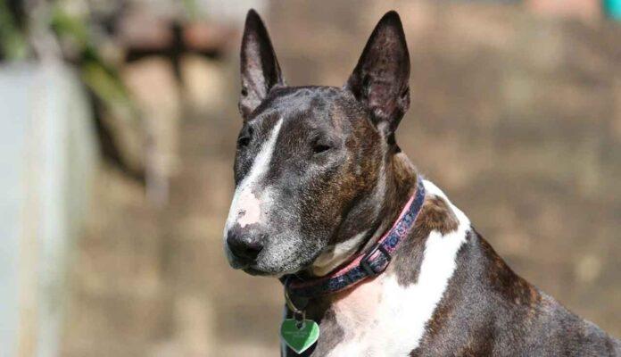 Faits Bull Terrier