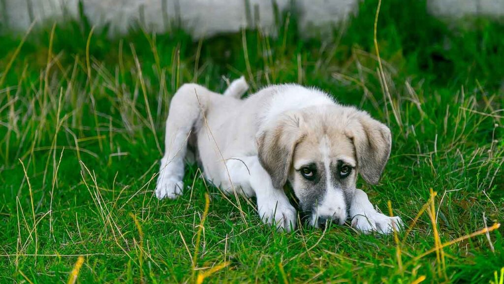Parvovirose canine parvovirus