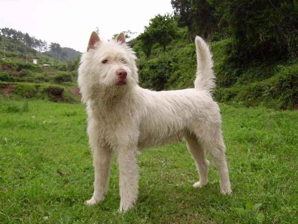 races chiens chinoises Chien Xiasi