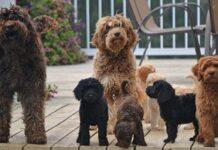 races de chiens hybrides